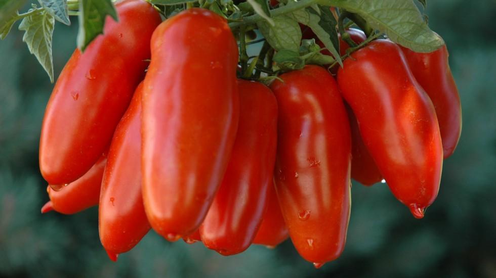 Dal 12 al 14 settembre la XIII edizione della Sagra del Pomodoro San Marzano DOP